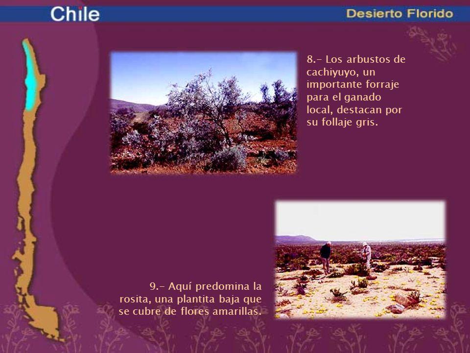 8.- Los arbustos de cachiyuyo, un importante forraje para el ganado local, destacan por su follaje gris.