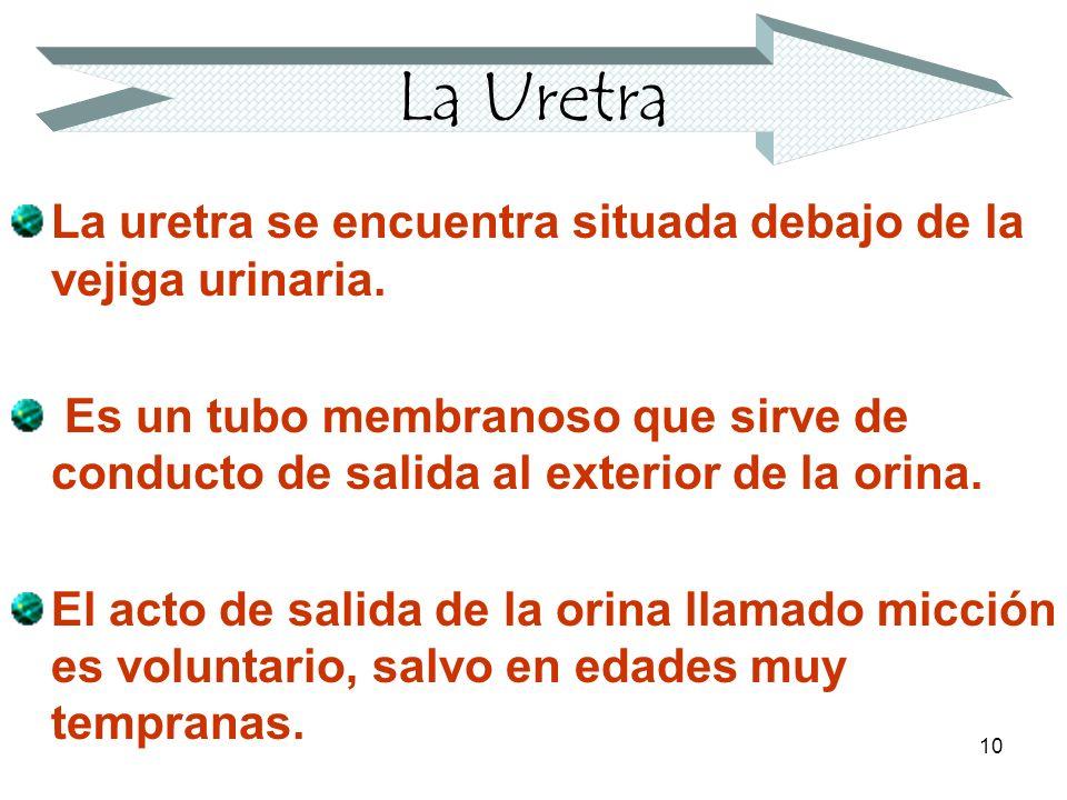 La Uretra La uretra se encuentra situada debajo de la vejiga urinaria.