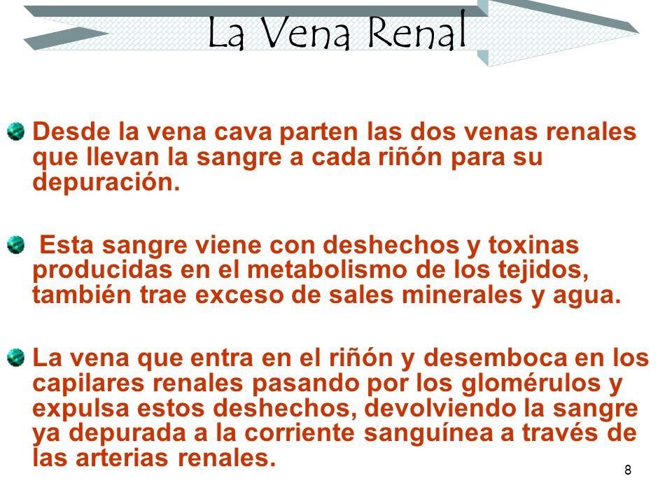 La Vena Renal Desde la vena cava parten las dos venas renales que llevan la sangre a cada riñón para su depuración.