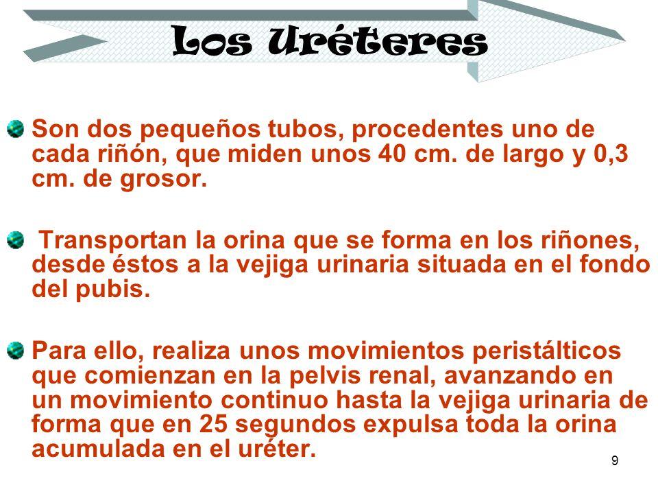 Los Uréteres Son dos pequeños tubos, procedentes uno de cada riñón, que miden unos 40 cm. de largo y 0,3 cm. de grosor.