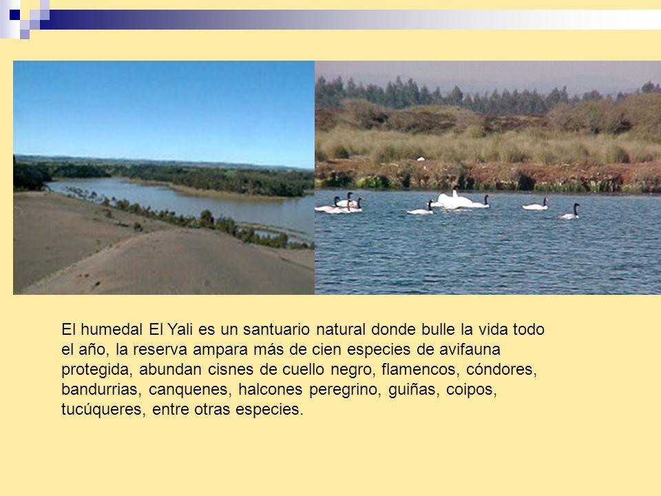 El humedal El Yali es un santuario natural donde bulle la vida todo el año, la reserva ampara más de cien especies de avifauna protegida, abundan cisnes de cuello negro, flamencos, cóndores, bandurrias, canquenes, halcones peregrino, guiñas, coipos, tucúqueres, entre otras especies.