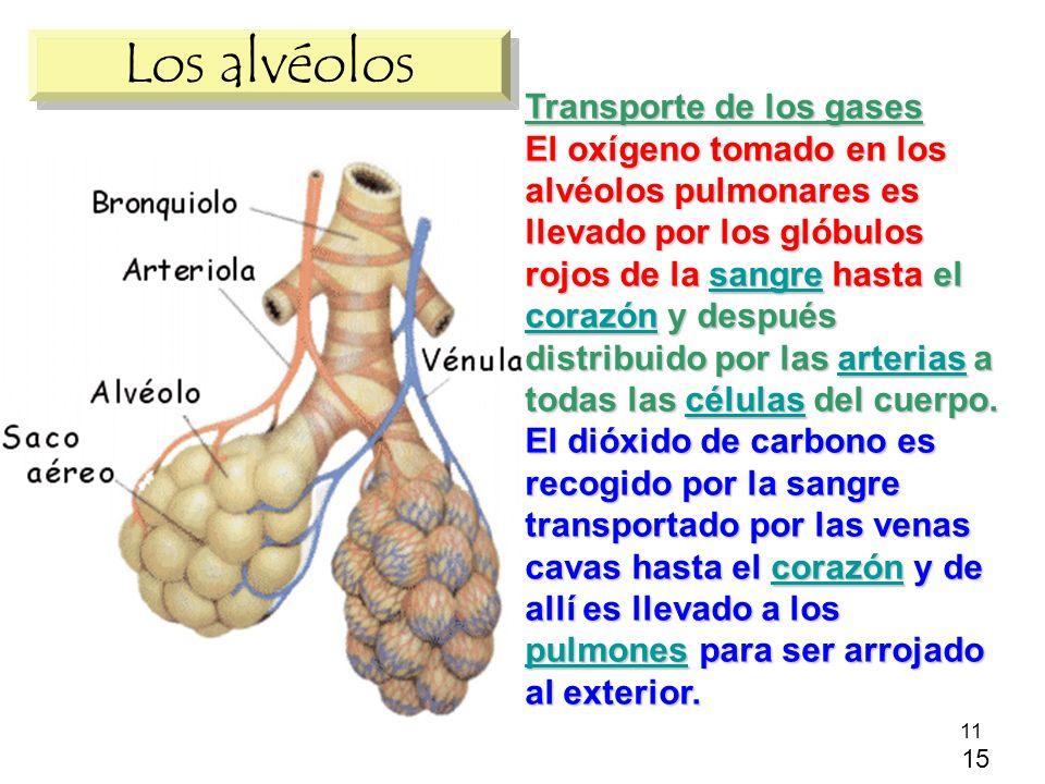 Los alvéolos Transporte de los gases