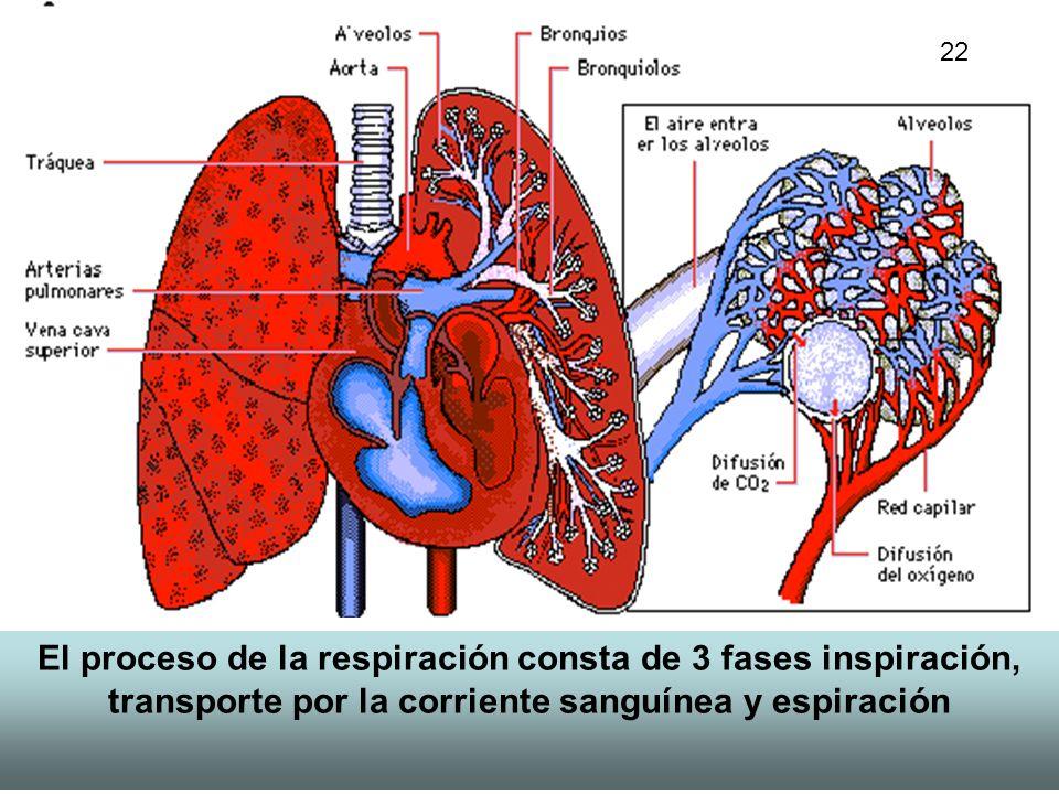 22 El proceso de la respiración consta de 3 fases inspiración, transporte por la corriente sanguínea y espiración.