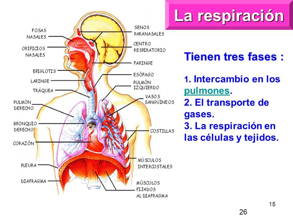 La respiración Tienen tres fases :