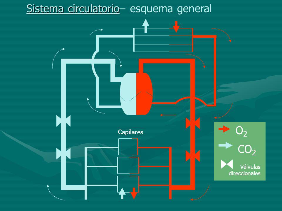 Sistema circulatorio– esquema general