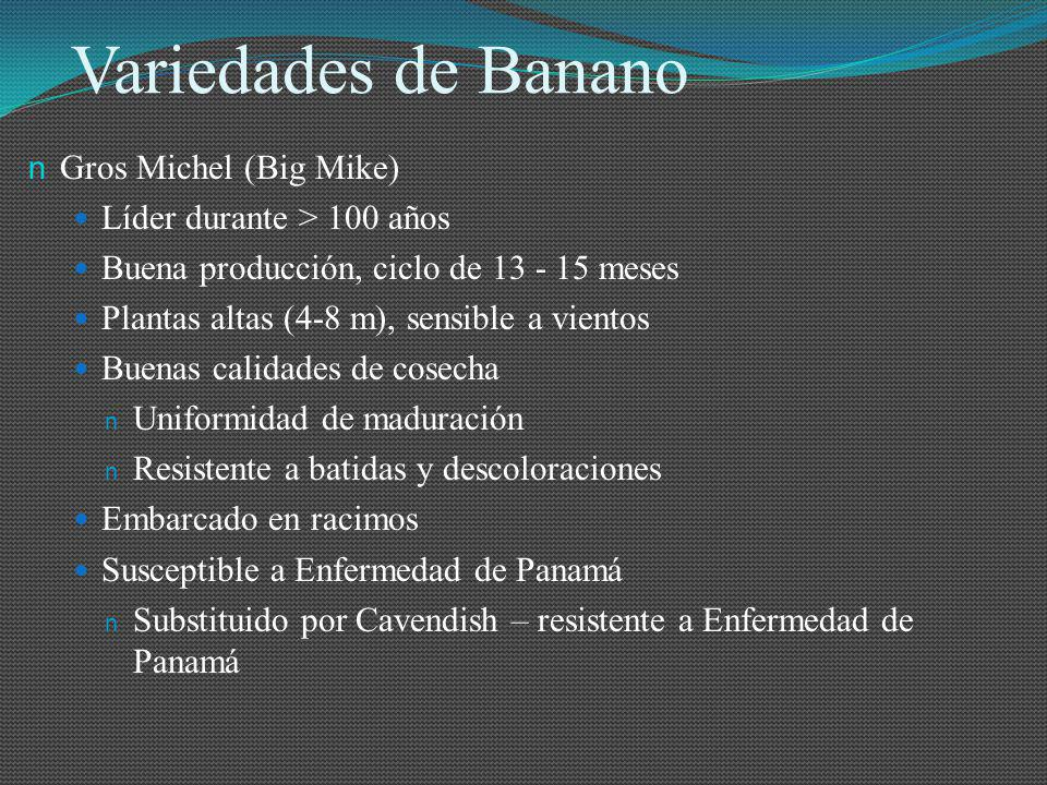 Variedades de Banano Gros Michel (Big Mike)