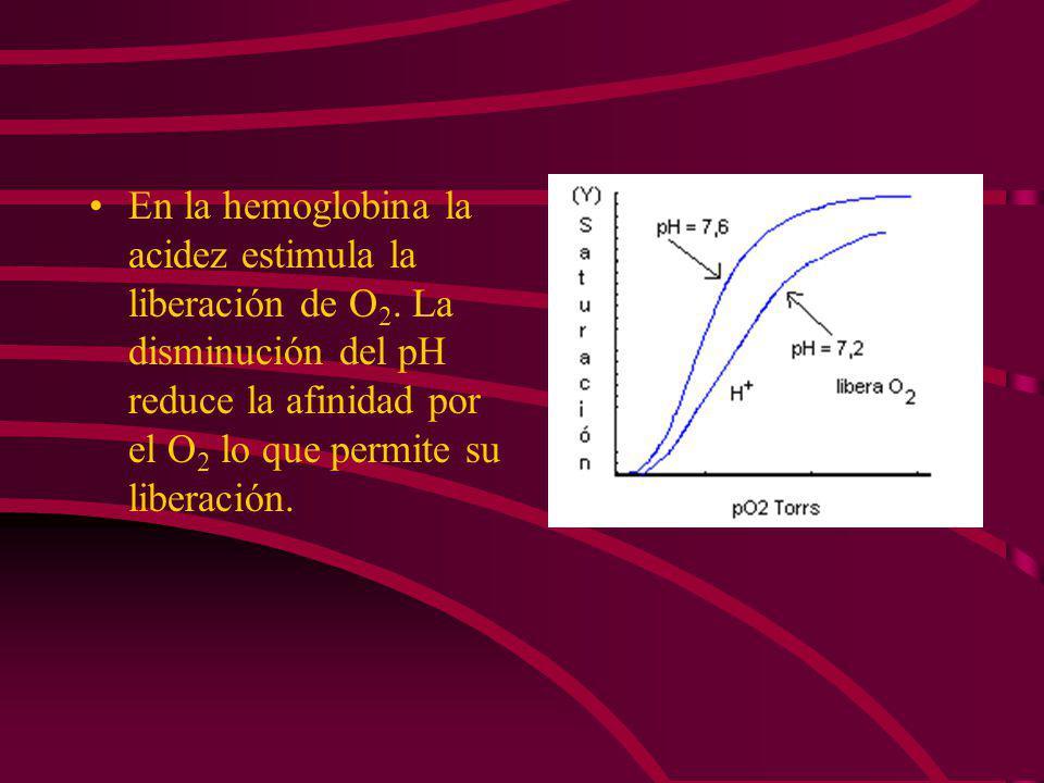 En la hemoglobina la acidez estimula la liberación de O2