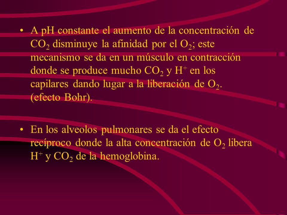 A pH constante el aumento de la concentración de CO2 disminuye la afinidad por el O2; este mecanismo se da en un músculo en contracción donde se produce mucho CO2 y H+ en los capilares dando lugar a la liberación de O2. (efecto Bohr).