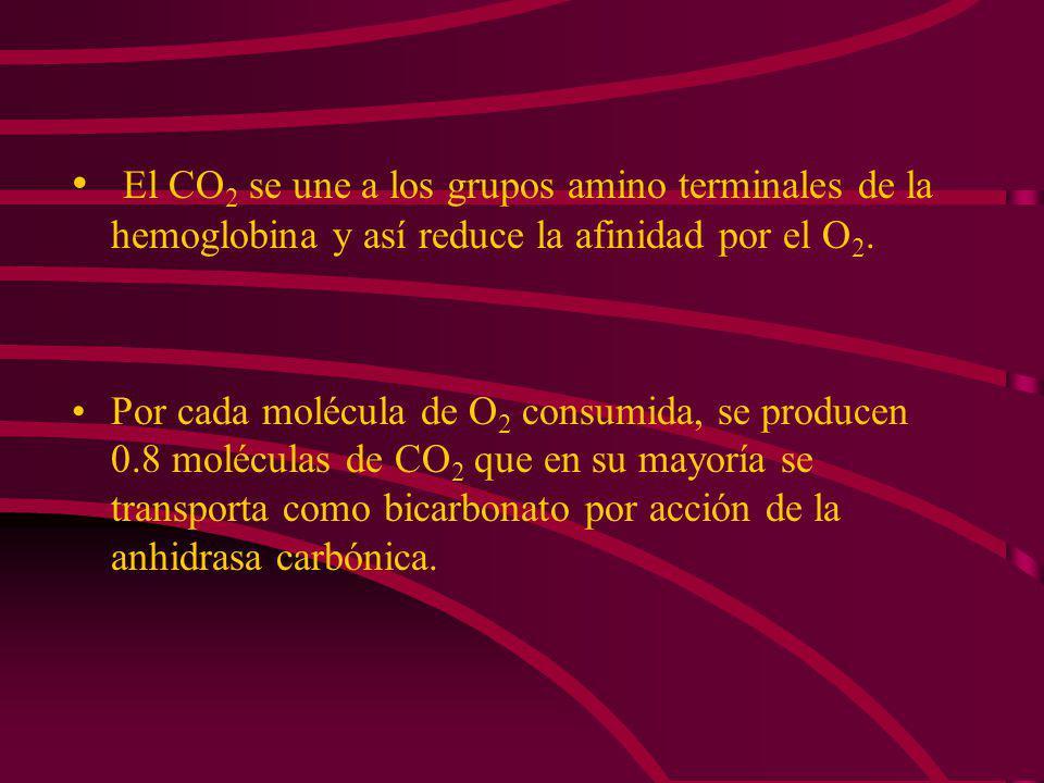 El CO2 se une a los grupos amino terminales de la hemoglobina y así reduce la afinidad por el O2.