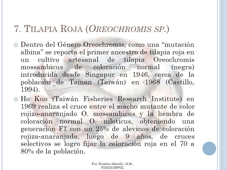 7. Tilapia Roja (Oreochromis sp.)