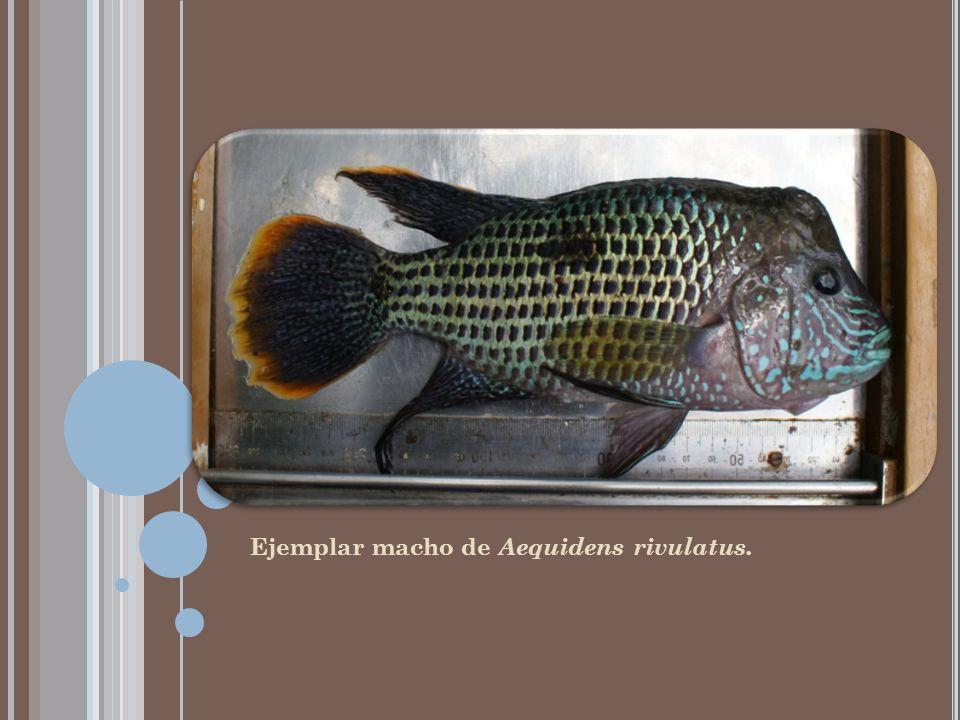 Ejemplar macho de Aequidens rivulatus.