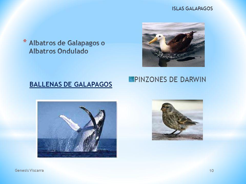 Albatros de Galapagos o Albatros Ondulado