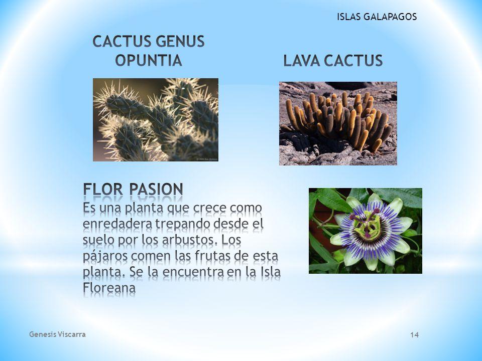 CACTUS GENUS OPUNTIA LAVA CACTUS.