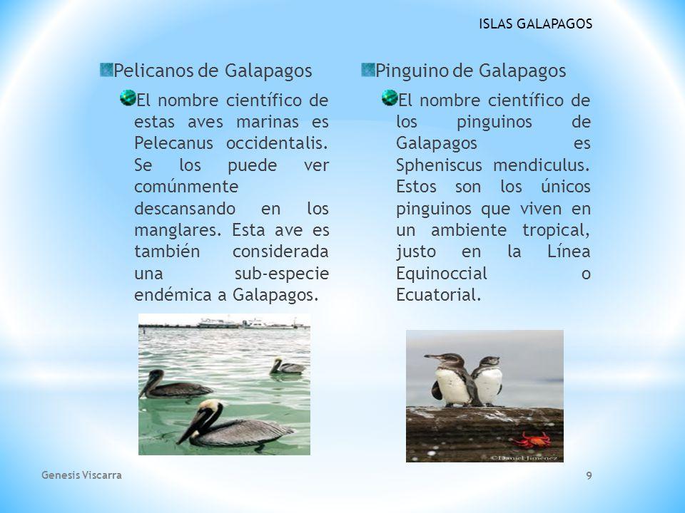 Pelicanos de Galapagos Pinguino de Galapagos