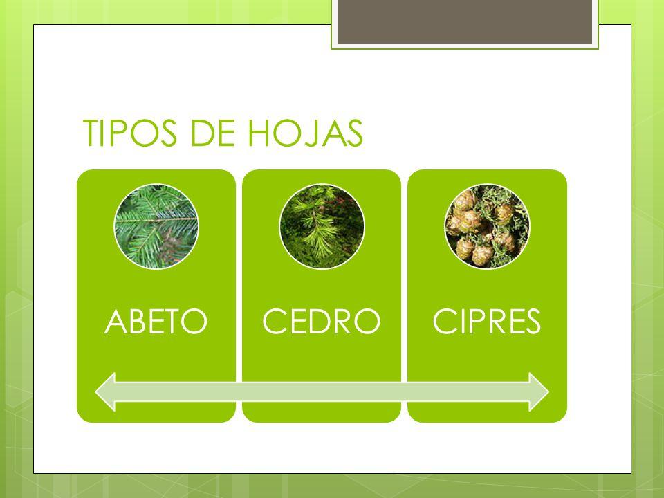 TIPOS DE HOJAS ABETO CEDRO CIPRES