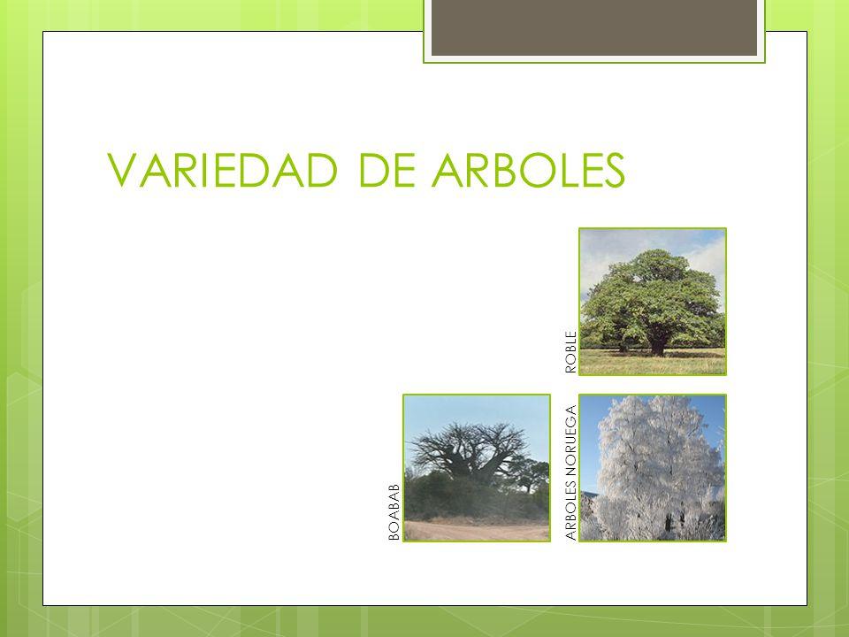 VARIEDAD DE ARBOLES BOABAB ARBOLES NORUEGA ROBLE