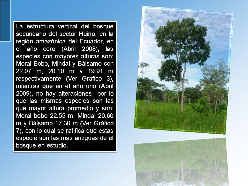 La estructura vertical del bosque secundario del sector Huino, en la región amazónica del Ecuador, en el año cero (Abril 2008), las especies con mayores alturas son: Moral Bobo, Mindal y Bálsamo con 22.07 m, 20.10 m y 19.91 m respectivamente (Ver Grafico 3), mientras que en el año uno (Abril 2009), no hay alteraciones por lo que las mismas especies son las que mayor altura promedio y son: Moral bobo 22.55 m, Mindal 20.60 m y Bálsamo 17.30 m (Ver Gráfico 7), con lo cual se ratifica que estas especie son las más antiguas de el bosque en estudio.