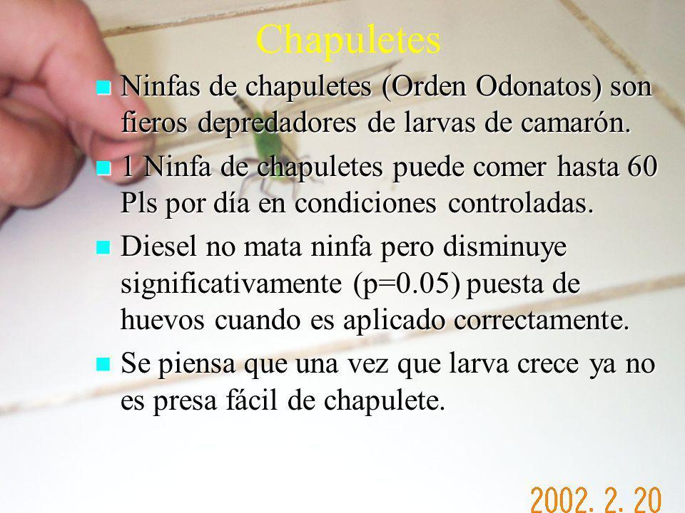 Chapuletes Ninfas de chapuletes (Orden Odonatos) son fieros depredadores de larvas de camarón.