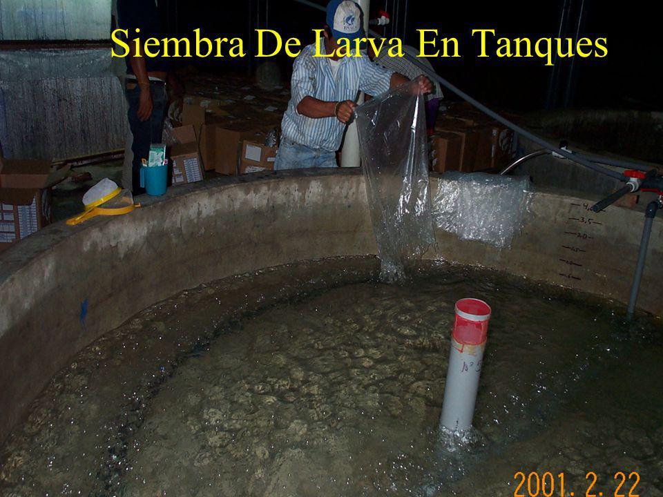 Siembra De Larva En Tanques