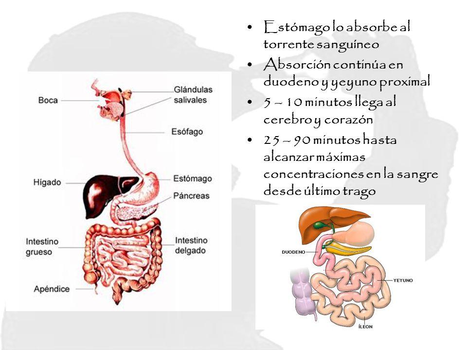 Estómago lo absorbe al torrente sanguíneo