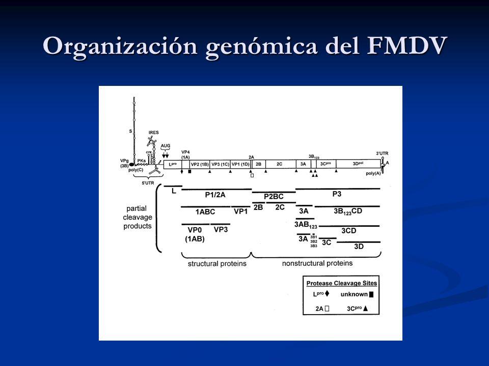 Organización genómica del FMDV