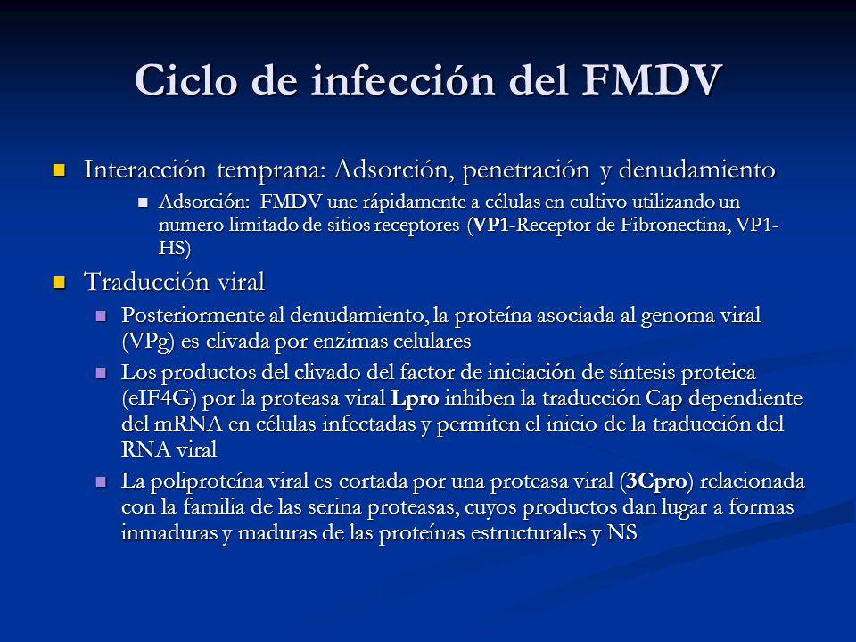 Ciclo de infección del FMDV