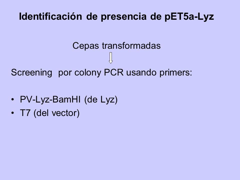 Identificación de presencia de pET5a-Lyz