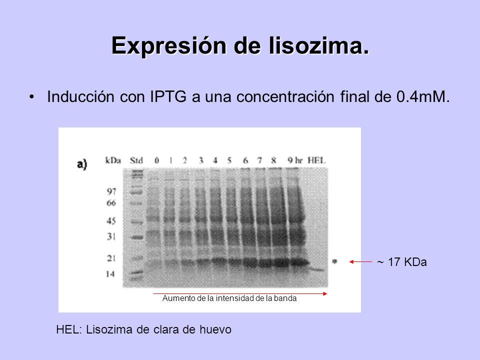 Expresión de lisozima. Inducción con IPTG a una concentración final de 0.4mM. ~ 17 KDa. Aumento de la intensidad de la banda.