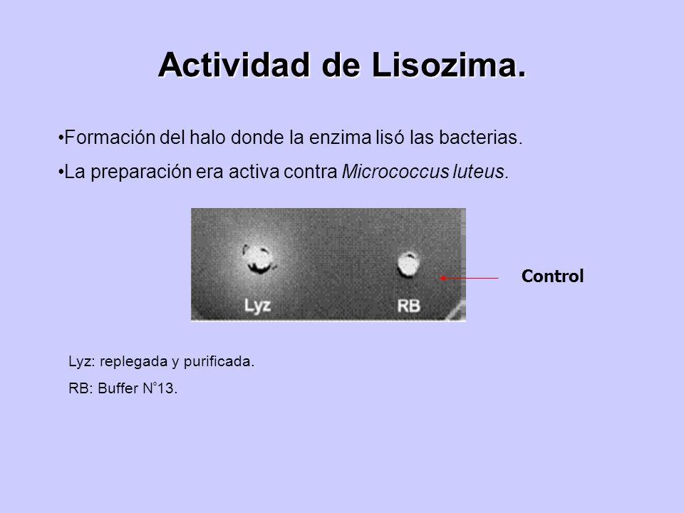 Actividad de Lisozima.Formación del halo donde la enzima lisó las bacterias. La preparación era activa contra Micrococcus luteus.