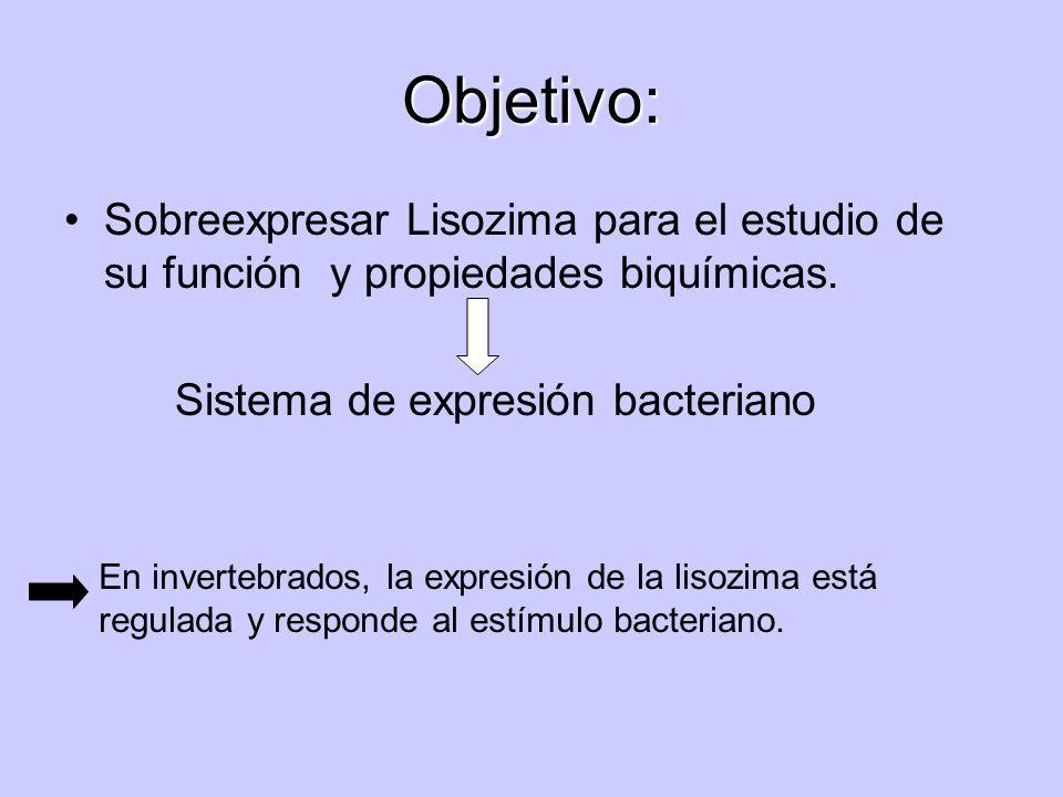 Objetivo: Sobreexpresar Lisozima para el estudio de su función y propiedades biquímicas. Sistema de expresión bacteriano.