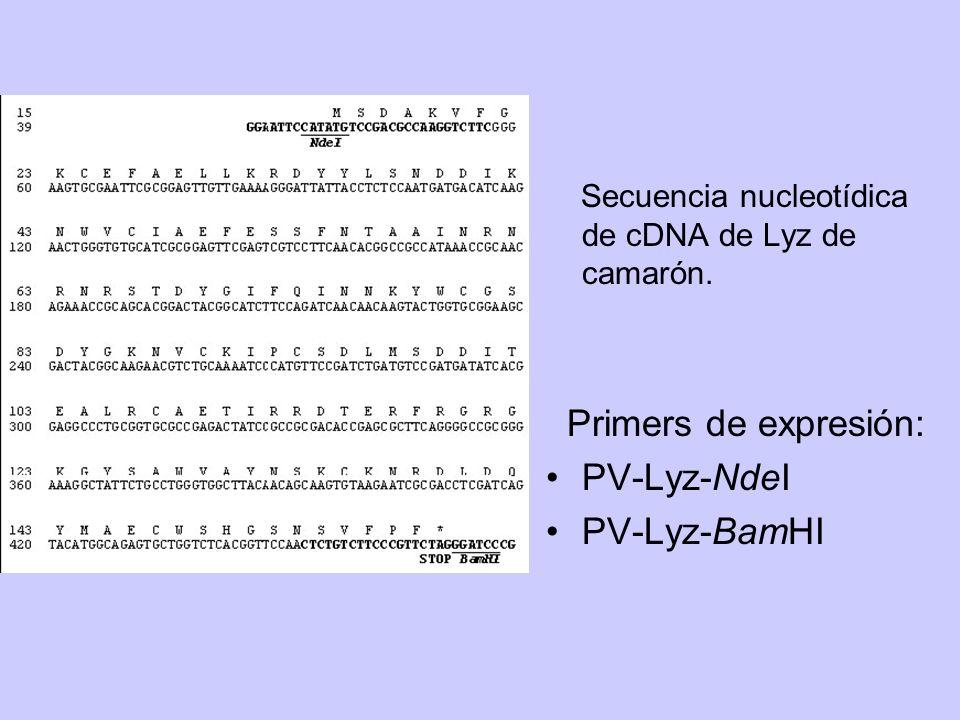 Primers de expresión: PV-Lyz-NdeI PV-Lyz-BamHI