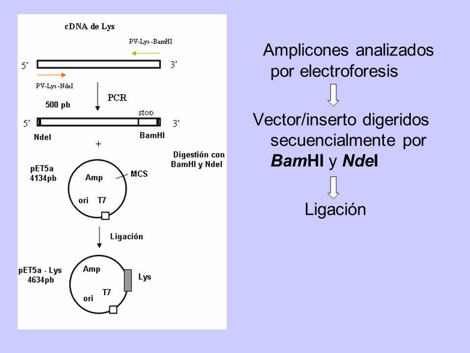 Amplicones analizados por electroforesis