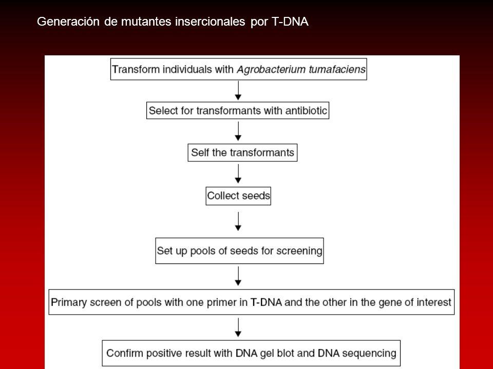 Generación de mutantes insercionales por T-DNA