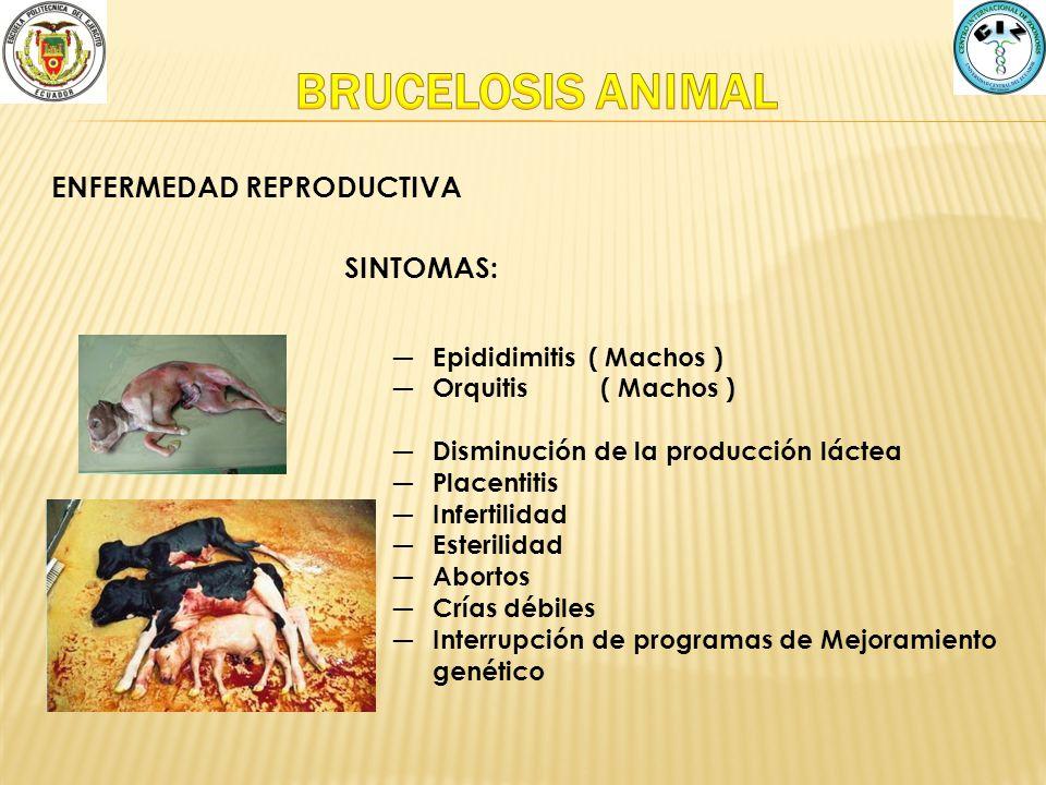 BRUCELOSIS ANIMAL ENFERMEDAD REPRODUCTIVA SINTOMAS: