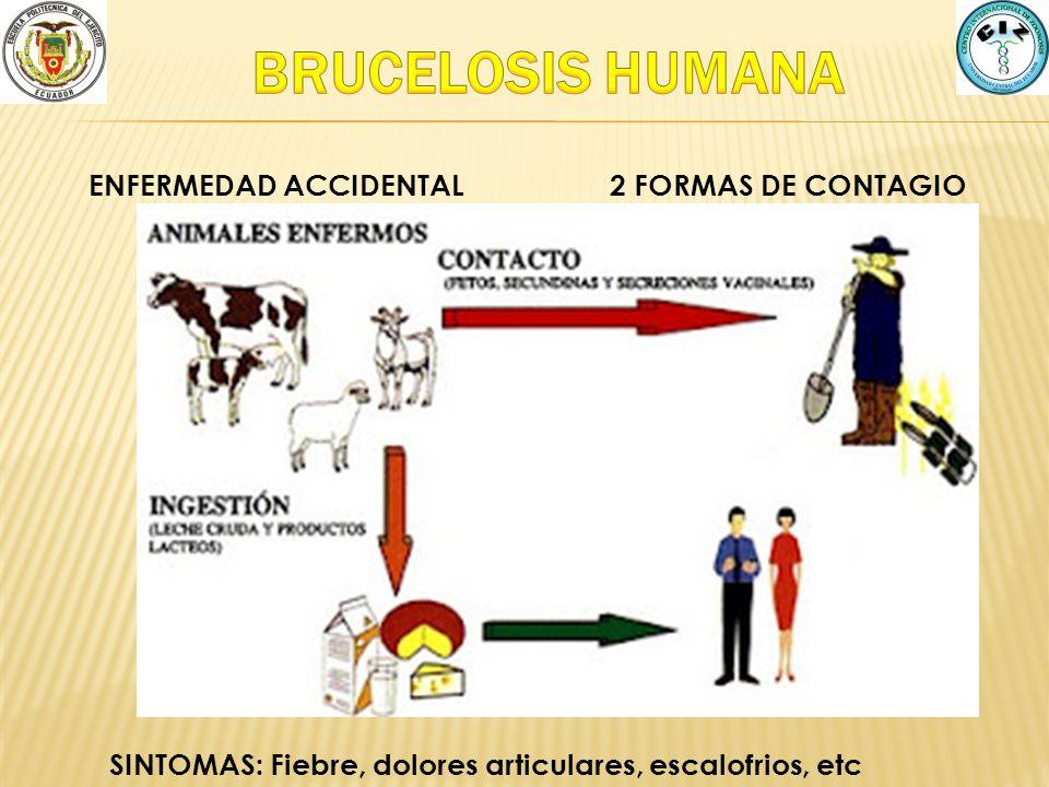 BRUCELOSIS HUMANA ENFERMEDAD ACCIDENTAL 2 FORMAS DE CONTAGIO