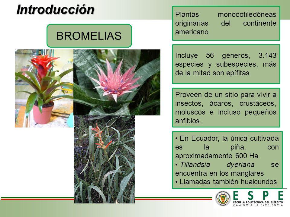 Introducción BROMELIAS