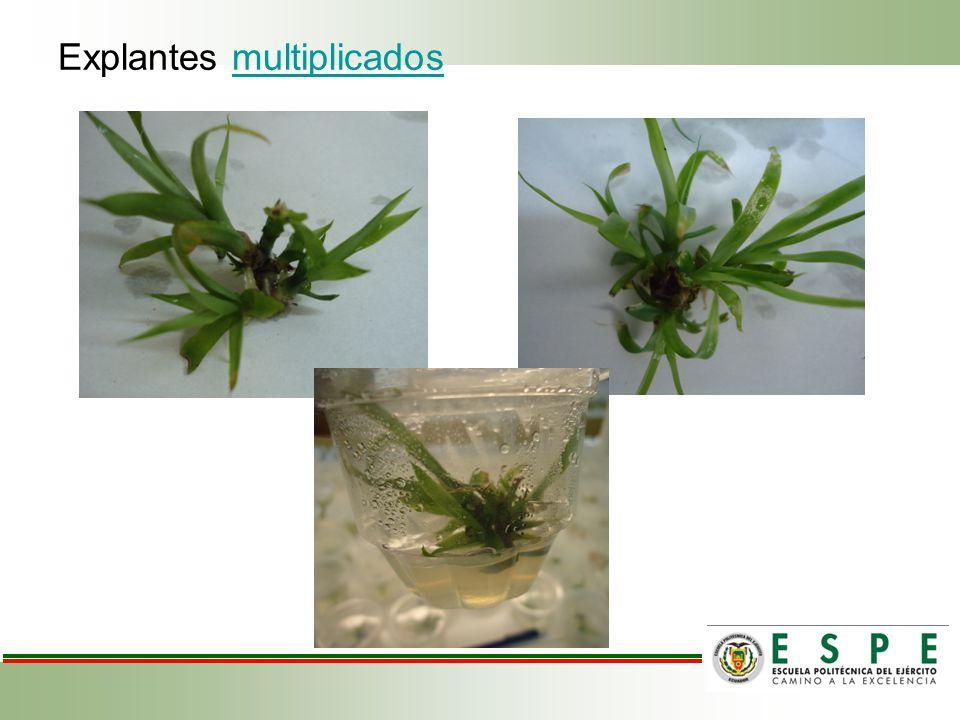 Explantes multiplicados