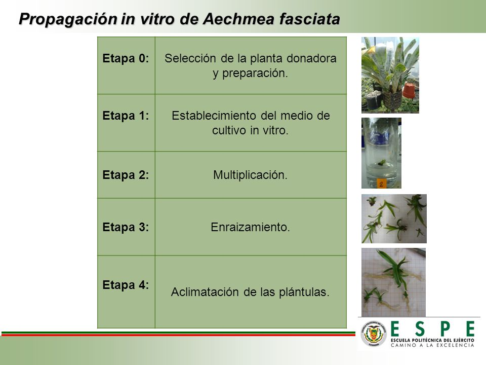 Propagación in vitro de Aechmea fasciata
