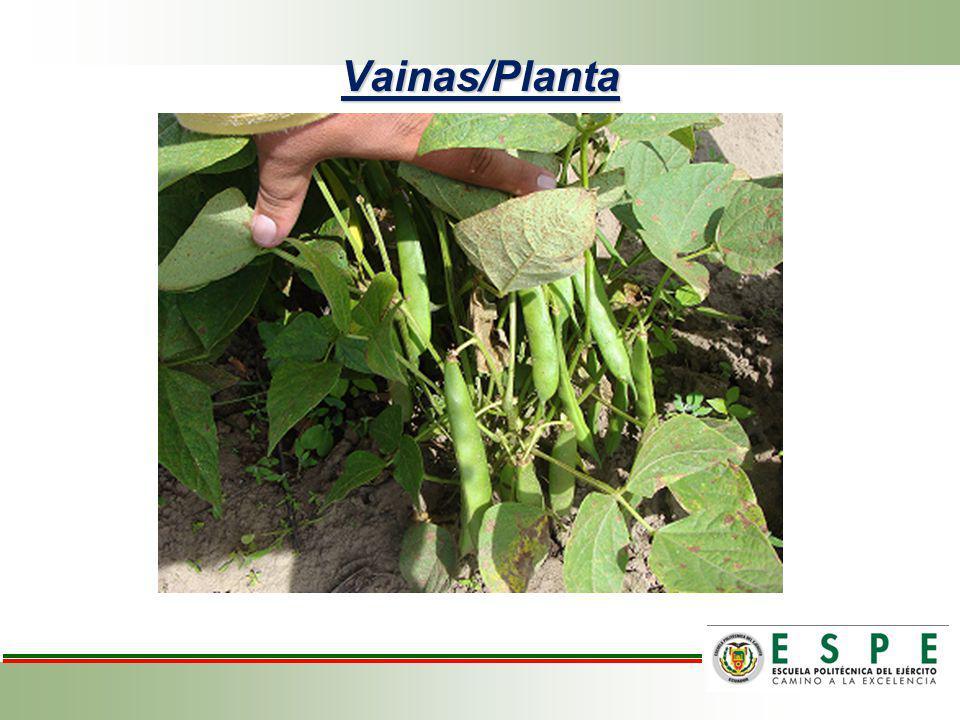 Vainas/Planta
