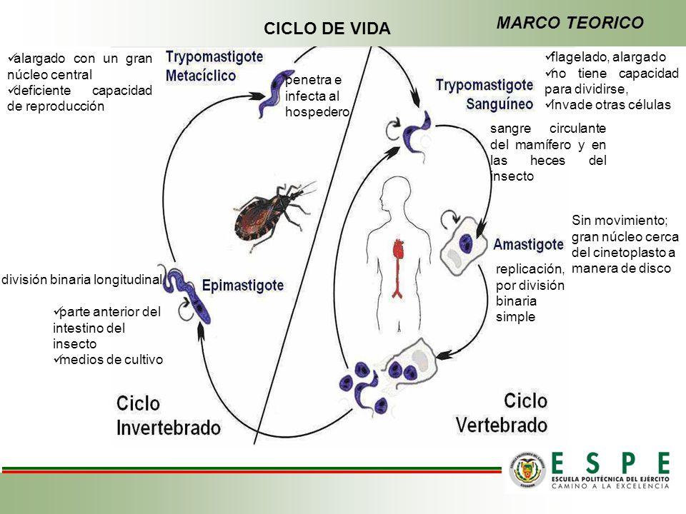 MARCO TEORICO CICLO DE VIDA alargado con un gran núcleo central