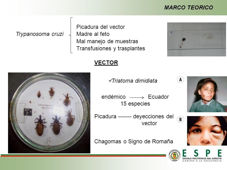 MARCO TEORICO Picadura del vector. Trypanosoma cruzi. Madre al feto. Mal manejo de muestras. Transfusiones y trasplantes.