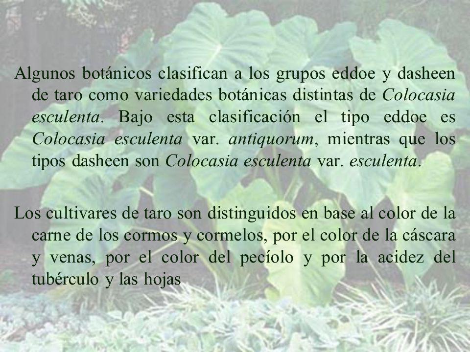 Algunos botánicos clasifican a los grupos eddoe y dasheen de taro como variedades botánicas distintas de Colocasia esculenta. Bajo esta clasificación el tipo eddoe es Colocasia esculenta var. antiquorum, mientras que los tipos dasheen son Colocasia esculenta var. esculenta.