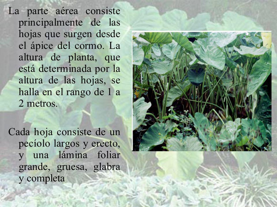 La parte aérea consiste principalmente de las hojas que surgen desde el ápice del cormo. La altura de planta, que está determinada por la altura de las hojas, se halla en el rango de 1 a 2 metros.