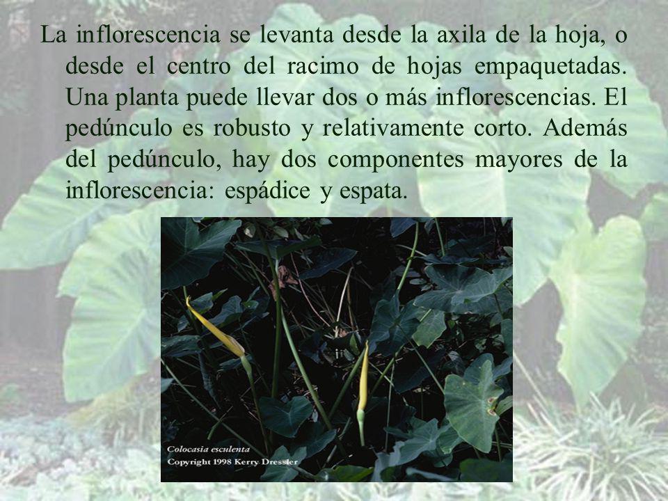 La inflorescencia se levanta desde la axila de la hoja, o desde el centro del racimo de hojas empaquetadas.