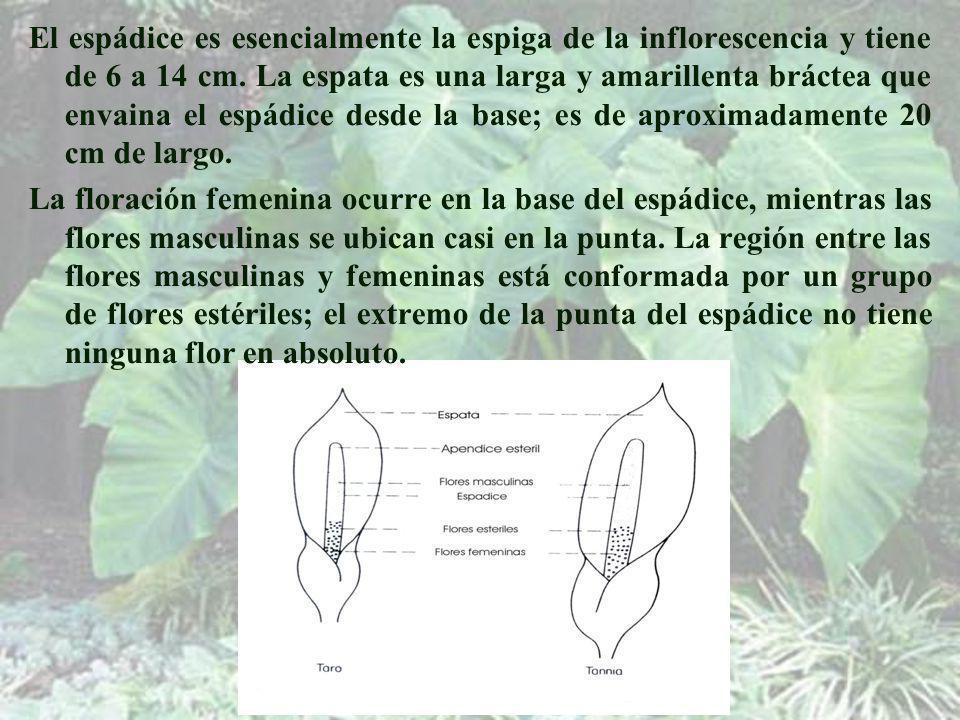 El espádice es esencialmente la espiga de la inflorescencia y tiene de 6 a 14 cm. La espata es una larga y amarillenta bráctea que envaina el espádice desde la base; es de aproximadamente 20 cm de largo.