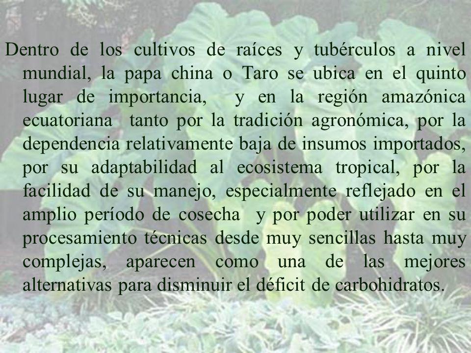 Dentro de los cultivos de raíces y tubérculos a nivel mundial, la papa china o Taro se ubica en el quinto lugar de importancia, y en la región amazónica ecuatoriana tanto por la tradición agronómica, por la dependencia relativamente baja de insumos importados, por su adaptabilidad al ecosistema tropical, por la facilidad de su manejo, especialmente reflejado en el amplio período de cosecha y por poder utilizar en su procesamiento técnicas desde muy sencillas hasta muy complejas, aparecen como una de las mejores alternativas para disminuir el déficit de carbohidratos.