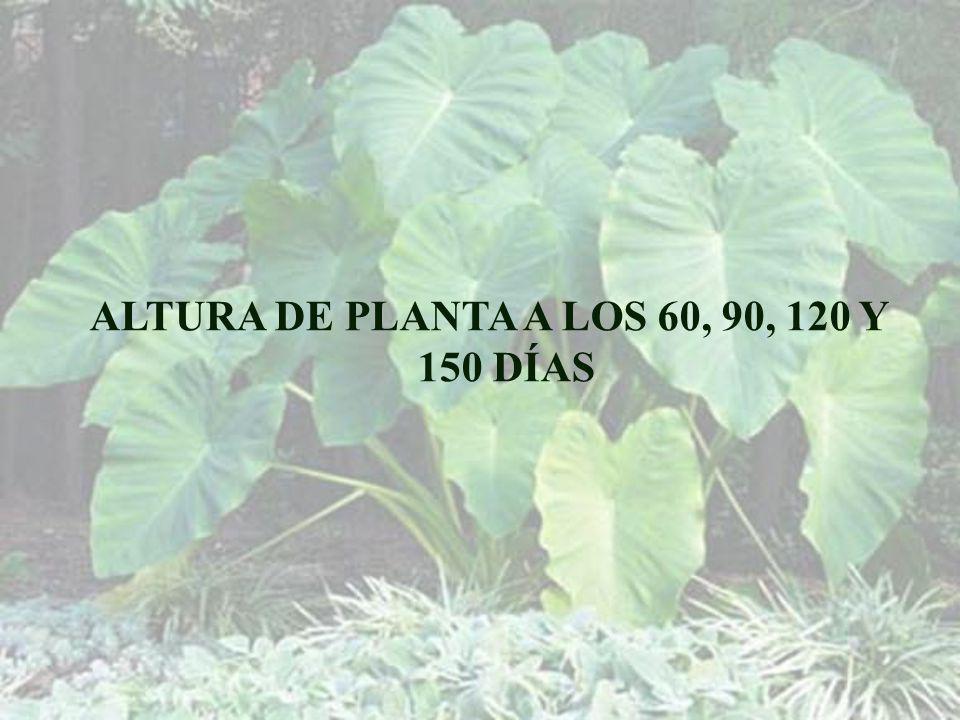 ALTURA DE PLANTA A LOS 60, 90, 120 Y 150 DÍAS