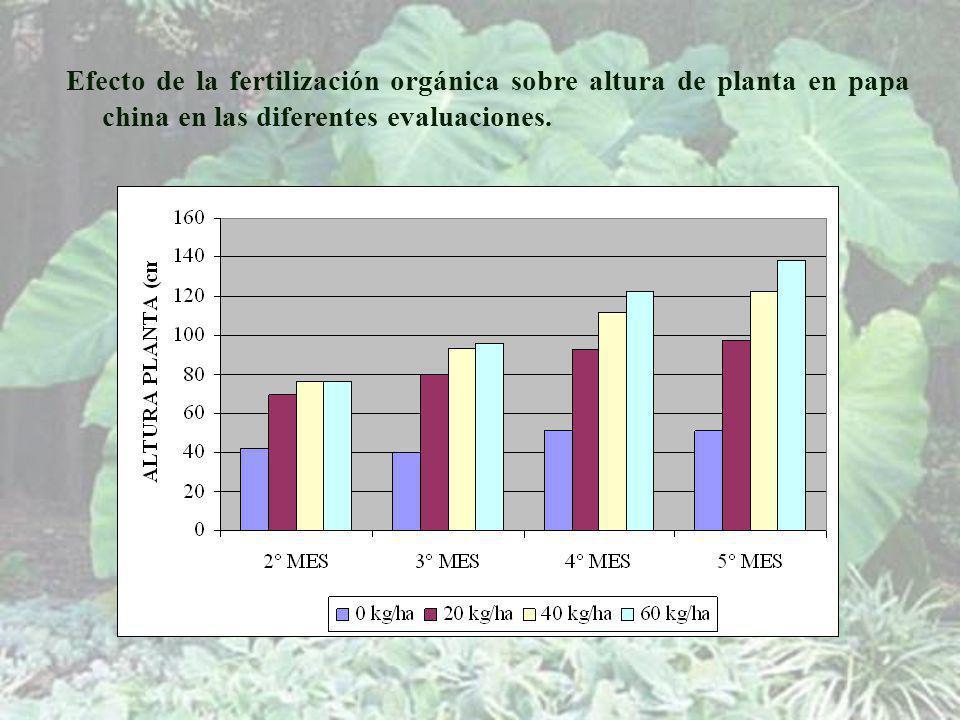 Efecto de la fertilización orgánica sobre altura de planta en papa china en las diferentes evaluaciones.