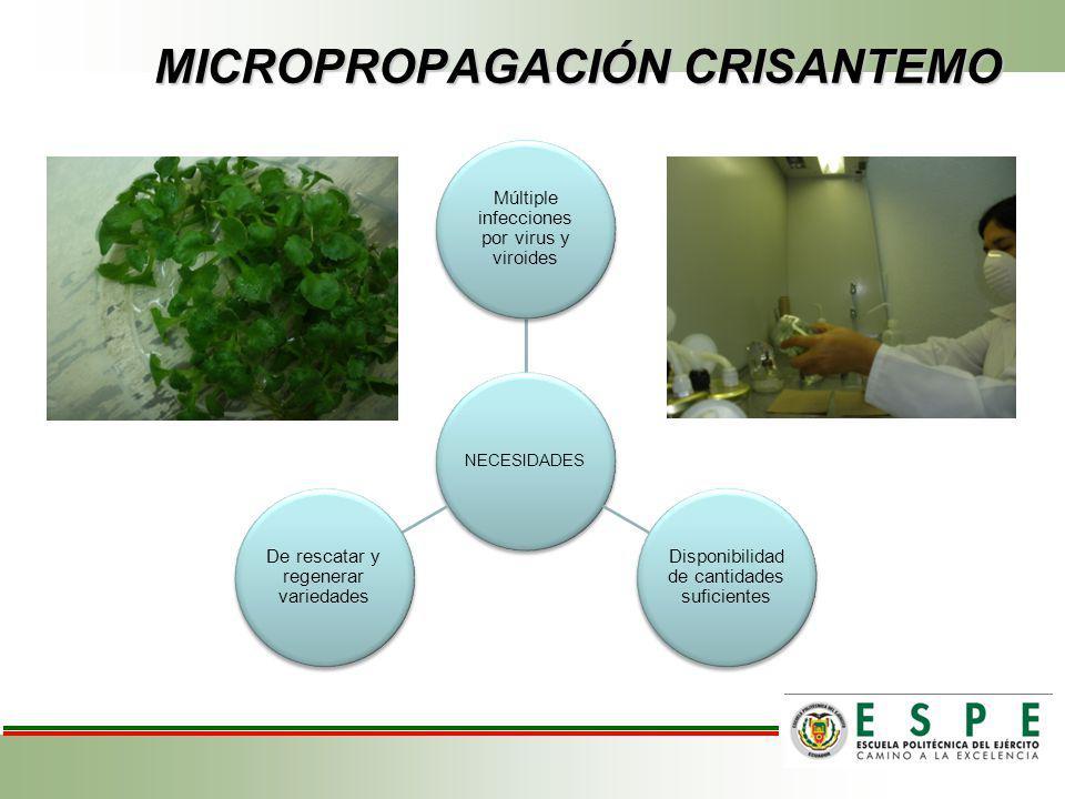 MICROPROPAGACIÓN CRISANTEMO