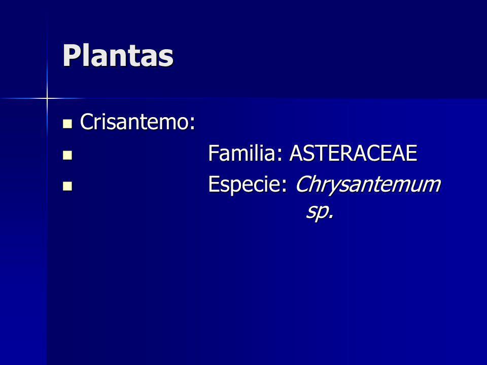 Plantas Crisantemo: Familia: ASTERACEAE Especie: Chrysantemum sp.